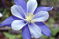 Columbine Immagine Stock