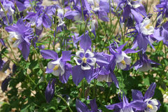 Columbine. A field of purple columbines royalty free stock image