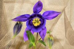 紫色Columbine 免版税库存图片