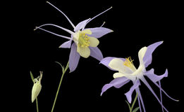 Columbine Photos stock