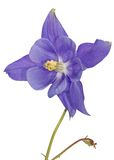 Columbine Stock Photography