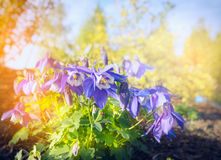 Columbine Akelei flowers bush on blurred sunny nature background Royalty Free Stock Photos