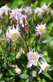 Aquilegia, also known as columbine and Grannys bon Royalty Free Stock Photography