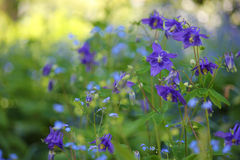 Columbine Aquilegia blue Royalty Free Stock Photos