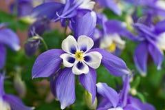 Columbine Aquilegia Caerulea flower. Rocky Mountain Aquilegia. Aquilegia Caerulea flower with white centre closeup stock images