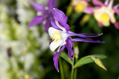 Columbine (Aquilegia) flower Stock Photo
