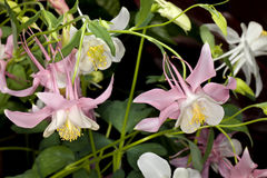 Columbine (Aquilegia) flower Stock Images