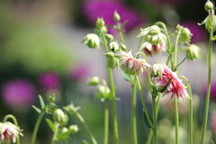 Columbine Aquilegia pink Royalty Free Stock Images