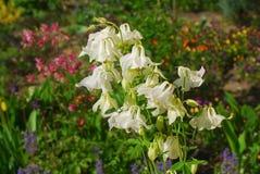 Columbine, aquilegia vulgaris Στοκ Εικόνα