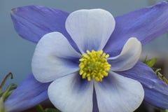 Columbine azul foto de archivo