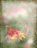 Columbine Background Royalty Free Stock Photography