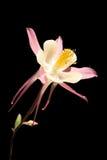 Columbine blanco y rosado imagen de archivo