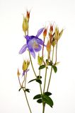 Columbine bleu alpestre Photo libre de droits