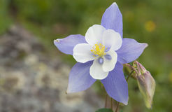 columbine blomma Royaltyfri Fotografi