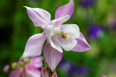 Columbine bloom lavender color. Closeup of the flower-head of a columbine in bloom outside in a garden at spring. Background blurred royalty free stock image
