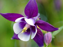 Columbine bloom purple white Stock Photo