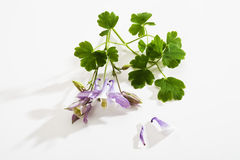 Columbine, blossoms and leaves Stock Photo