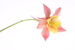 Columbine-Blume Stockfoto