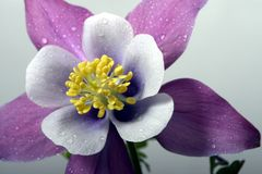 Columbine close-up. Purple and white columbine close-up with water drops Stock Image