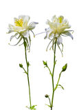 Columbine. Columbine flower. Columbine flower  isolated on a whi Royalty Free Stock Photo