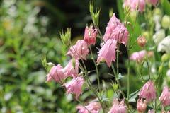 Columbine cor-de-rosa Foto de Stock Royalty Free