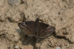 Columbine Duskywing Butterfly. Collecting minerals from the muddy path. Carden Alvar Provincial Park, Kawartha Lakes, Ontario, Canada Royalty Free Stock Image