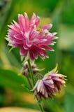 columbine fördubblad blommapink Arkivfoto