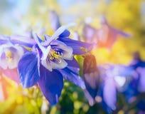 Columbine fleurit dans la lumière du soleil, fin  Photo stock