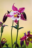 Columbine flower Royalty Free Stock Photo