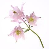 Columbine Flower Stock Image