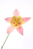 Columbine flower. Pink and yellow Columbine flower on white background stock photos
