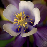 Columbine Flower. Yellow bursting out from a purple Columbine flower royalty free stock photo