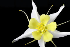 Columbine flower. White and yellow aquilegia blossom on black background royalty free stock photos