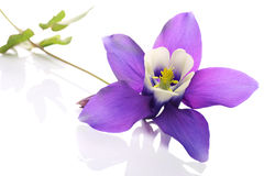 Columbine flower Royalty Free Stock Images