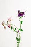 Columbine flower arrangement Stock Images