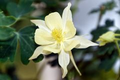 Yellow Columbine Flower Macro. A Columbine flower blossoms beautifully. These spurred flowers are known to attract Hummingbirds and Butterflies when they bloom stock photo
