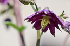 Columbine flower. Close up of a columbine flower in bloom stock image