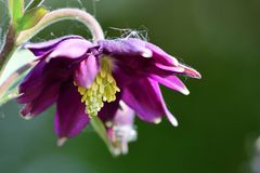 Columbine flower. Close up of a columbine flower in bloom royalty free stock photo
