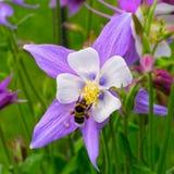 Columbine flower Royalty Free Stock Photo