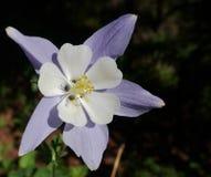 Columbine Flower closeup in sunshine. Purple columbine flower close-up basking in sunlight royalty free stock image