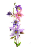 Columbine flowers Royalty Free Stock Photo