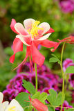 Columbine flowers. The close-up of Columbine flower(Scientific name: Aguilegia vulgars Stock Photo
