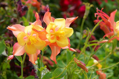 Columbine flowers. The close-up of Columbine flower(Scientific name: Aguilegia vulgars Stock Photography