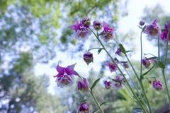 Columbine flowers. The close-up of columbine flowers. Scientific name:Aquilegia viridiflora Stock Photos