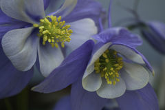 Columbine flowers Royalty Free Stock Photography