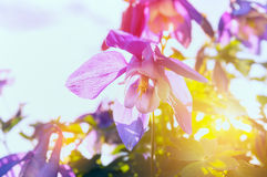 Columbine flowers in sun shine Stock Images