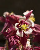 Columbine Fresh. New spring flowers blooming in the garden Stock Image