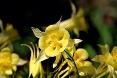 Columbine jaune Images libres de droits