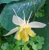 Columbine jaune Images stock