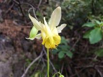 Columbine jaune, flavescens d'ancolie, fin, macro, parc national de Banff, les Rocheuses, Canada Images libres de droits